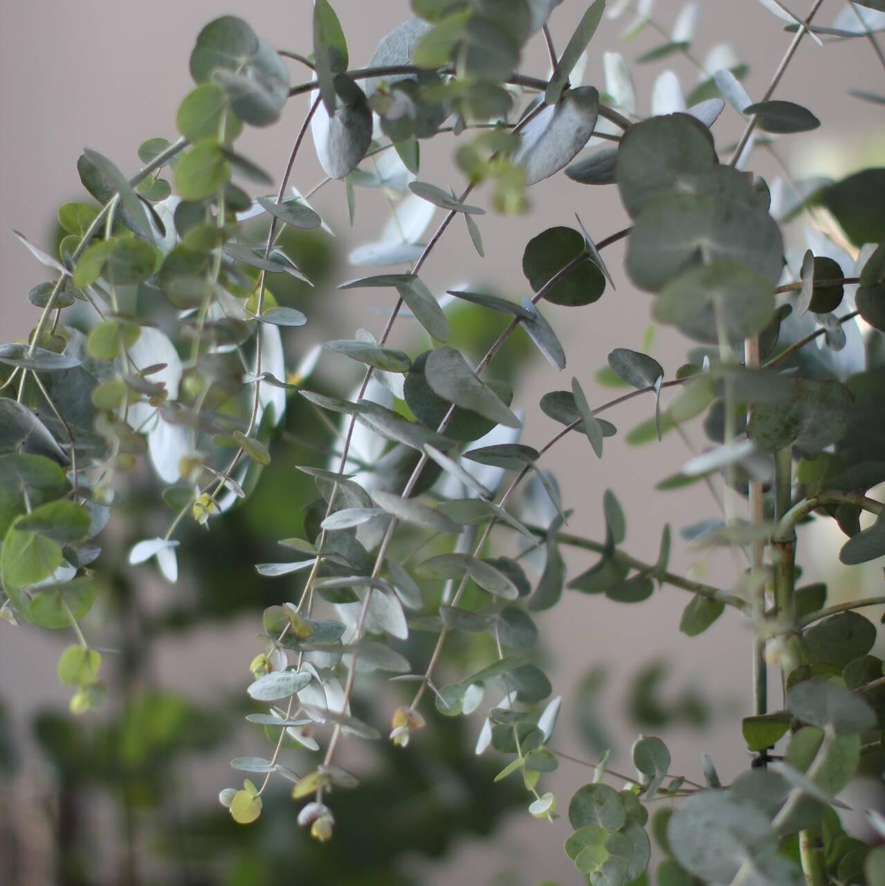 Eukalyptus Puu
